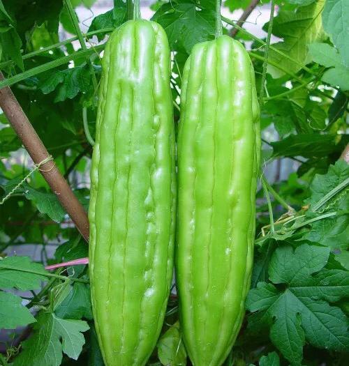 英德市 苦瓜種子高產中熟耐熱耐雨水清蔬615油綠苦瓜王種子夏季秋季