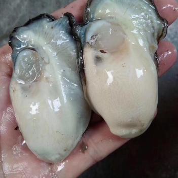冷冻生蚝 广东省饶平国的新鲜生蚝  没有泡水100斤起批