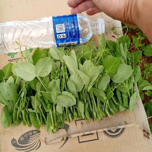 北京市丰台区豌豆苗 大量供应现货高原豌豆尖 有需要的老板请联系我
