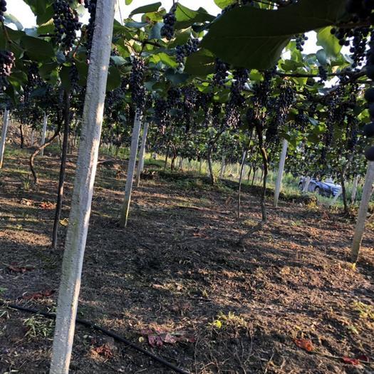 紫云苗族布依族自治县 贵州紫云一葡萄,形似珍珠披紫袍; 枝繁叶茂带刺甲,长在深山品