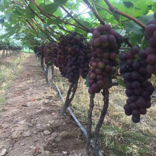 上海巨玫瑰葡萄 1.5- 2斤 5%以下 1次果
