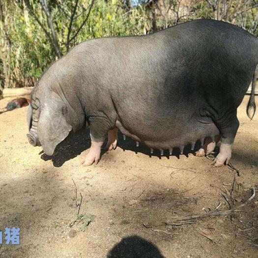 楚雄武定县 太湖梅山猪高产母猪黑猪