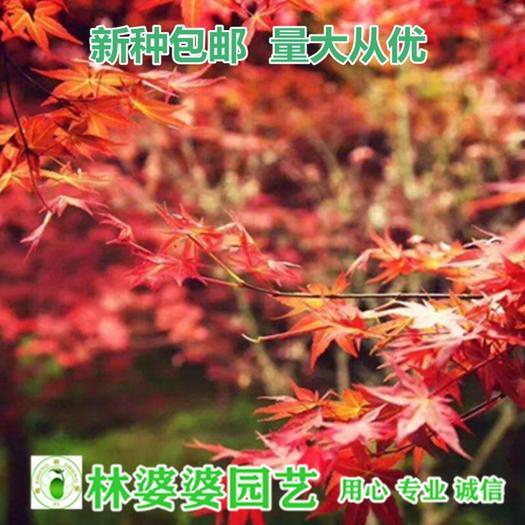 沭阳县枫树种子 红枫种子美国红枫种子新种子包邮