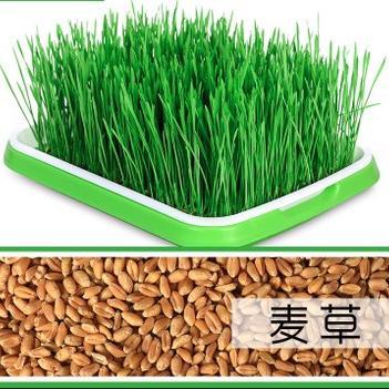 小麦芽 小麦草种子 一手货源 支持一件代发
