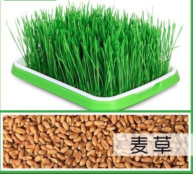 山东省临沂市兰山区小麦芽 小麦草种子 一手货源 支持一件代发