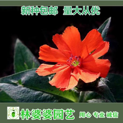 宿迁沭阳县 高雪轮种子新种子包邮