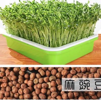 麻豌豆种子 生产豌豆苗专用品种