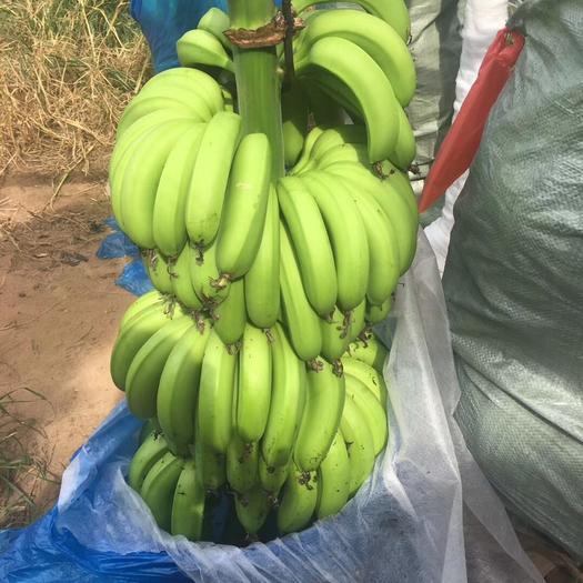 徐闻县 新鲜应季,香甜软糯的香蕉