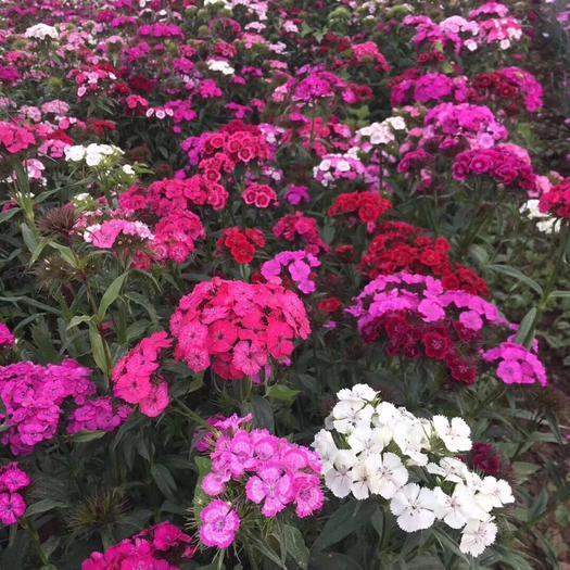 宿迁沭阳县美国石竹种子 美国石竹多年生花卉花期长颜色鲜艳