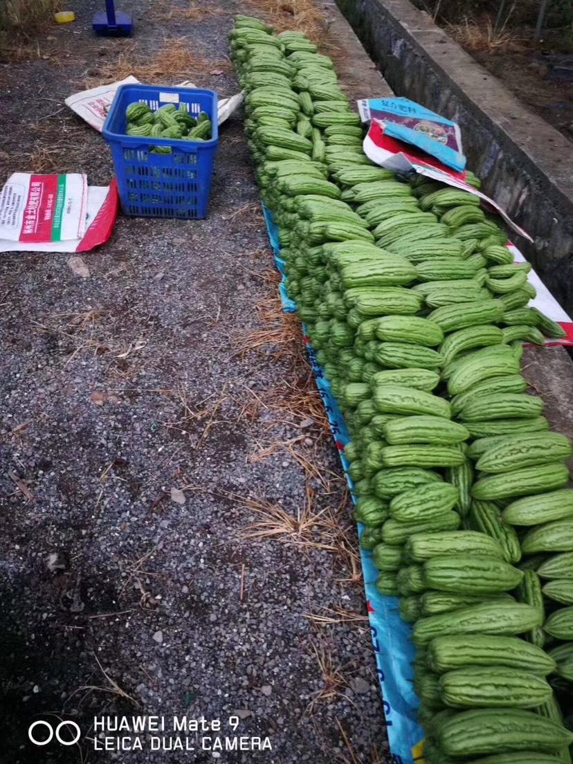 東江湖生態綠苦瓜新鮮上市熱銷中……