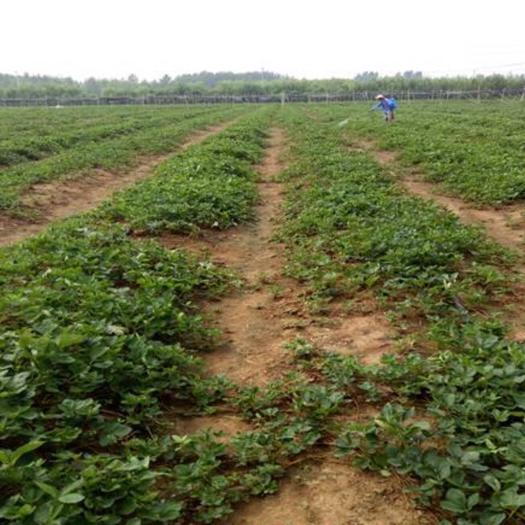 泰安 圣诞红草莓苗一手货源品质保证