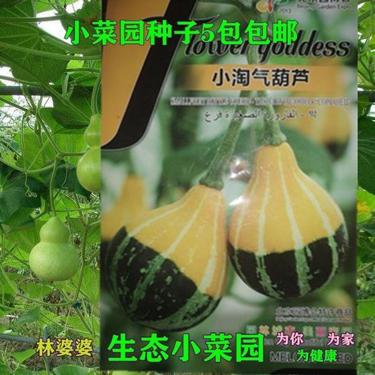 沭阳县 小淘气葫芦种子包邮