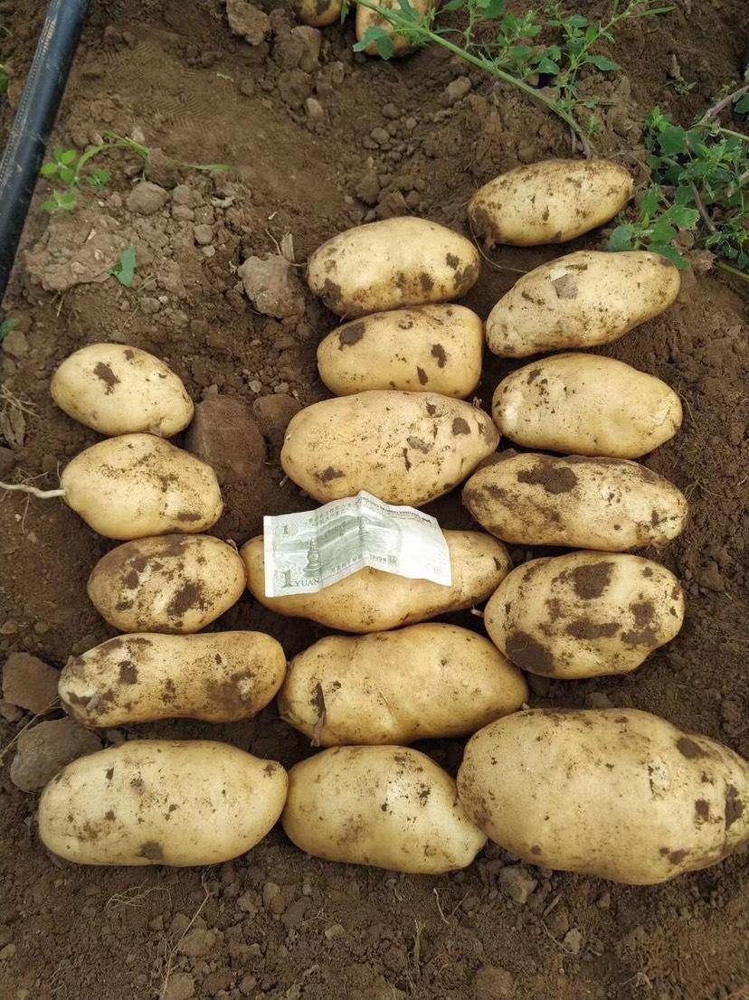 荷兰15号土豆 荷兰十五