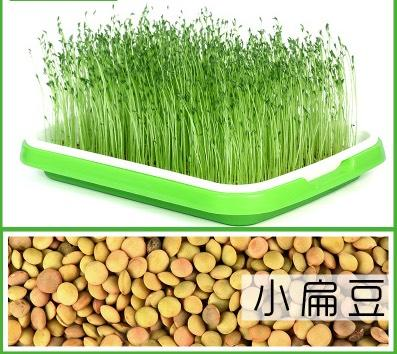 临沂 小扁豆 生产扁豆芽 熬粥 做凉粉的原料