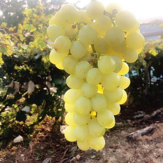 平度市 大泽山优质葡萄,泽山一号批发销售