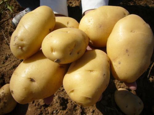 荷兰15号土豆 4两以上