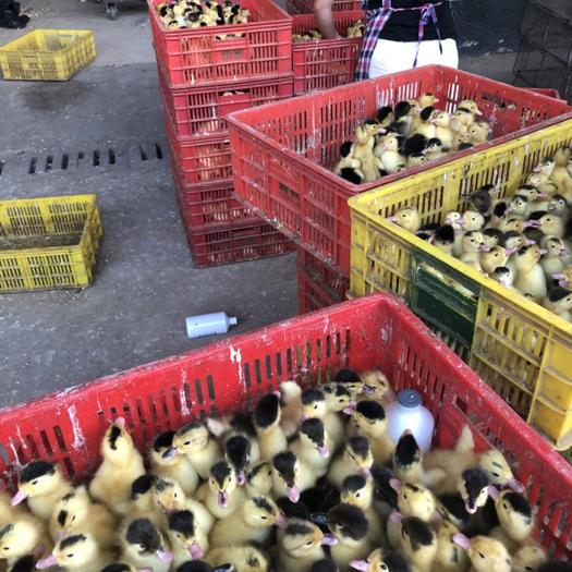 南寧西鄉塘區奧白星鴨 統貨 2斤以下 全圈養