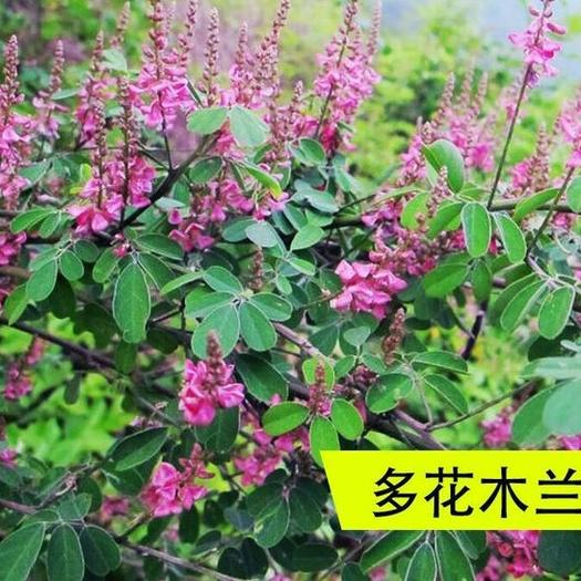 沭阳县多花木兰种子 多花木兰,灌木可以防止水土流失美化环境喂牛羊