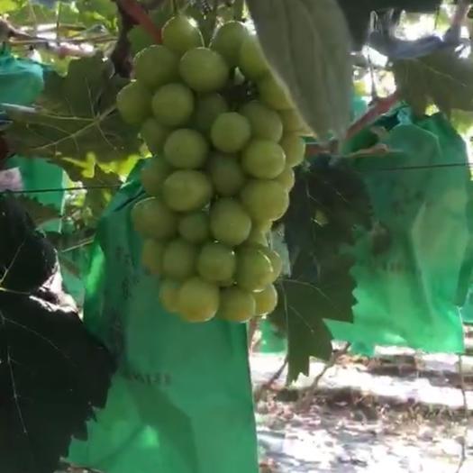 晋州市阳光玫瑰 1次果 1-1.5斤 5%以下