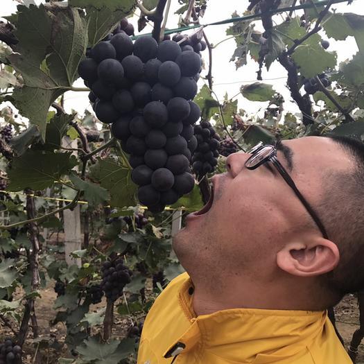 北镇市 京亚140葡萄开始了