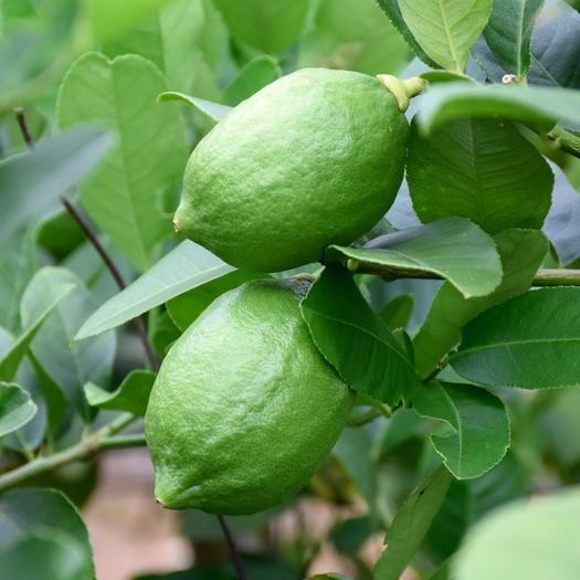 广州天河区 广东香水柠檬,香水浓郁,基地直供