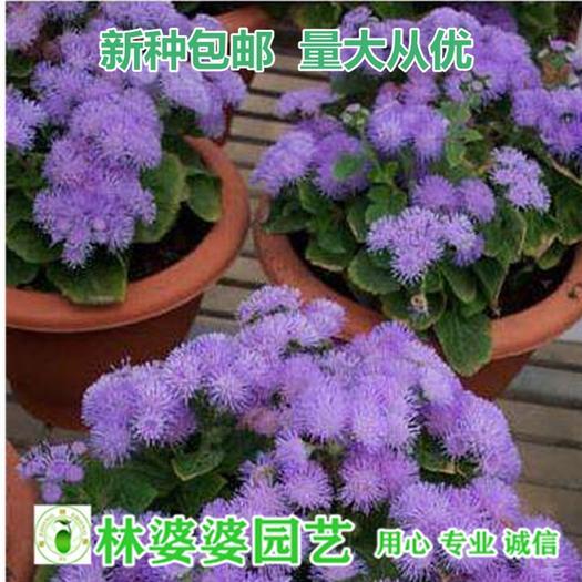 沭阳县霍香蓟种子 藿香蓟种子包邮