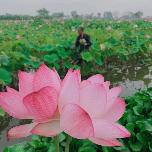 四川省成都市新都区莲蓬 大量出售新鲜莲子,纯天然绿色食品,亦蔬亦果