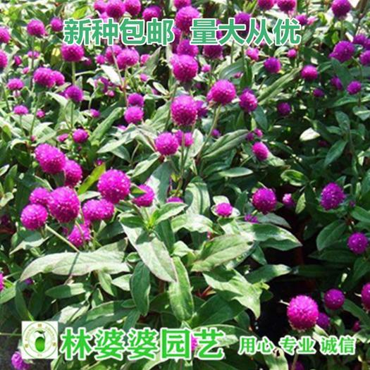 沭阳县 千日红种子千日紫种子包邮