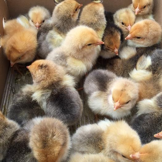 南宁西乡塘区 快大鸡 k9鸡苗 快大黄鸡 正规养殖孵化场供应