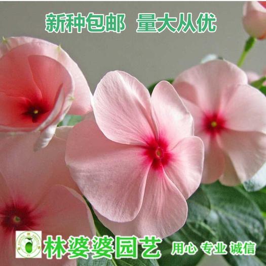 宿迁沭阳县 长春花种子1000粒+肥+生根粉包邮