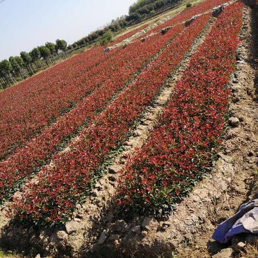 滁州紅葉石楠球 量大從優、品質保證、發貨速度