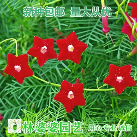 沭阳县羽叶莺萝种子 羽叶茑萝种子包邮低至123/斤