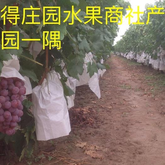 合阳县美国红提 万亩红提园,果大颗粒甜;上佳形和质,耐储耐运输。