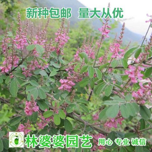 沭阳县 多花木兰种子包邮
