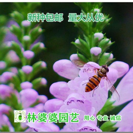 沭阳县 假龙头种子包邮