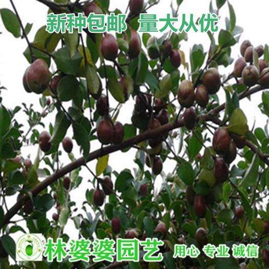 宿迁沭阳县 油茶种子包邮