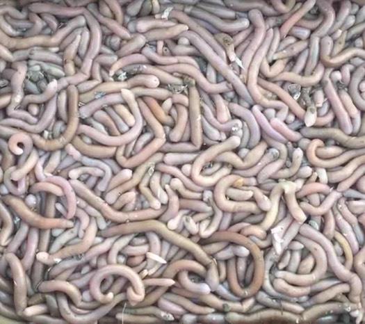 福州长乐区 长乐区梅花镇鲜活沙虫现货供应。
