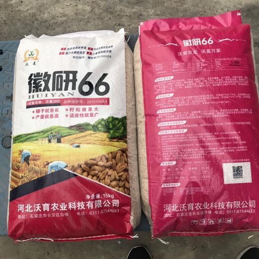 運城永濟市 小麥種子 徽研66  抗寒高產抗倒伏  河北產