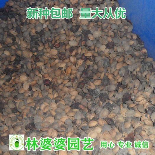 沭阳县红叶李种子 红叶李紫叶李种子新种子包邮