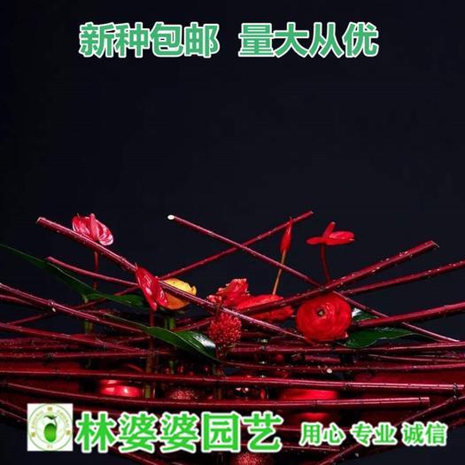 宿迁沭阳县 红瑞木种子包邮