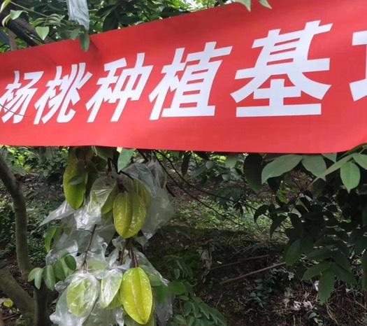 漳州平和縣 楊桃紅龍楊桃楊桃水果5斤熱帶水果孕婦水果紅龍陽桃送酸梅粉代發