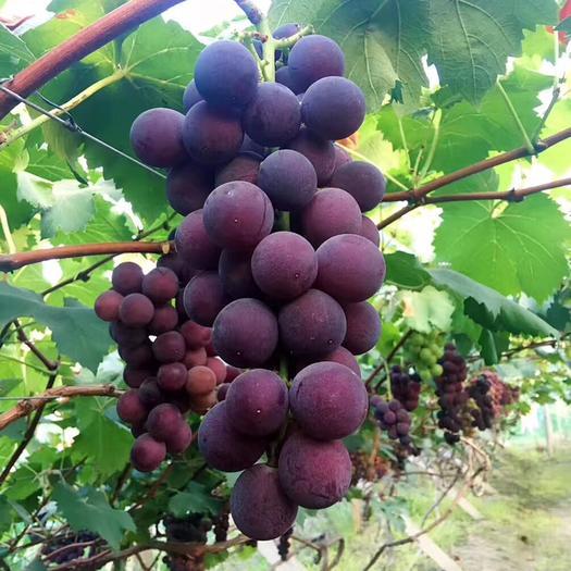 宁波 葡萄 品种甬优一号