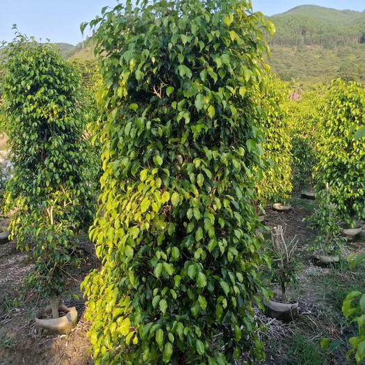 揭阳普宁市 垂叶榕大苗柱形冠幅70高1.6米 四季常青 绿篱 护坡