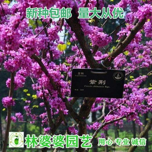 宿迁沭阳县 紫荆花种子包邮