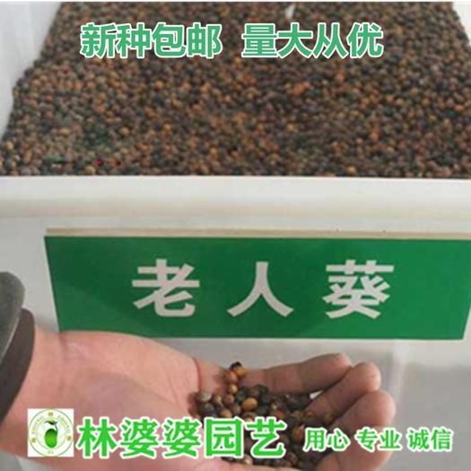沭阳县 老人葵种子美国棕榈种子包邮
