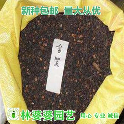 沭阳县含笑花种子 含笑种子乐昌含笑种子包邮