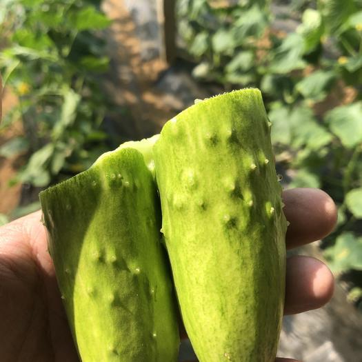 烟台海阳市海阳白玉黄瓜 15~25cm