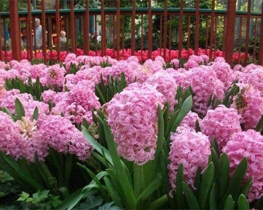 宿迁沭阳县 风信子种球,红色蓝色紫色粉色白色等可以盆栽地栽水培。