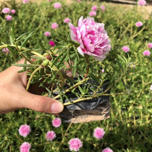 漳州漳浦县太阳花种子 重瓣太阳花 开花不断 耐贫瘠 裸根闪电发货