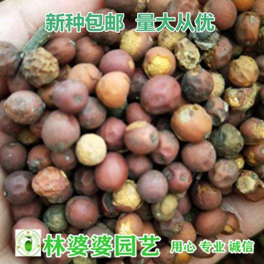 宿迁沭阳县 朴树种子大叶 大果 小叶种子包邮